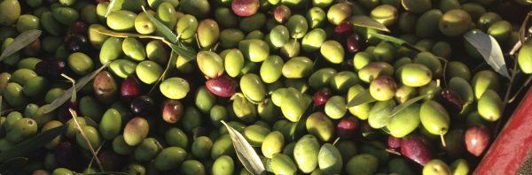 La récolte des olives en images pour une huile bio du domaine