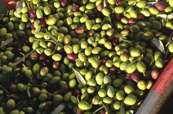 Nouveautés 2017 : le blanc en terret bourret et notre huile d'olive